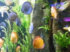 georgia aquarium discus