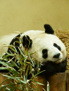 Tian Tian giant panda