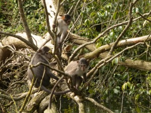 white-crowned mangabey