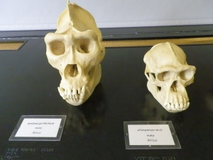gorilla and chimp skulls