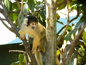 black-capped squrriel monkey