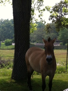 Prewalski's horse