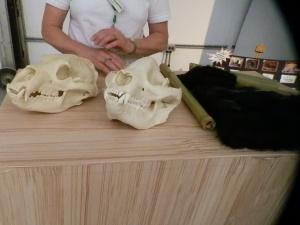 giant panda skull