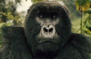 digit gorilla