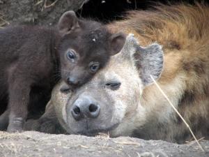 hyena with cub