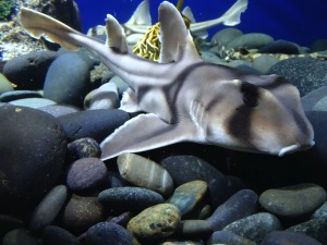 california horn shark