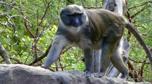 Allen Swamp monkey