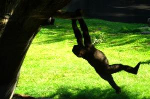 Hasani gorilla