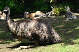 emu and kangaroos
