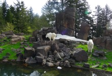 Rocky Mountain goats