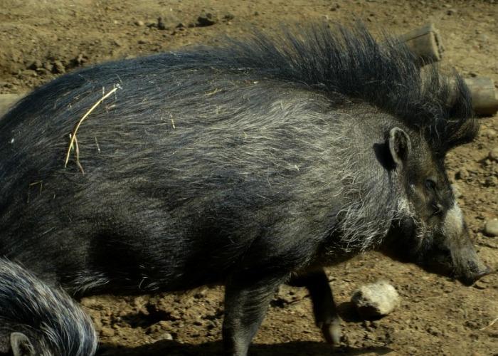 Visayan pig