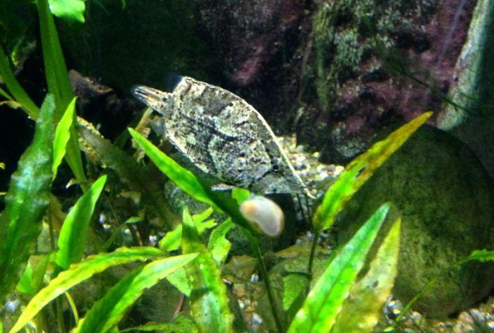 leaf fish