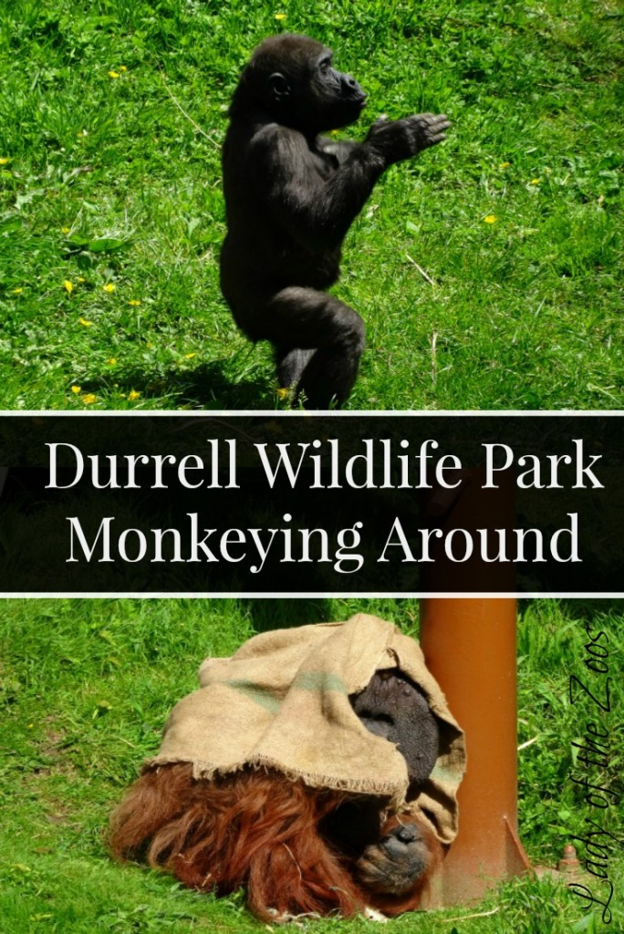 Durrell Monkeying Around
