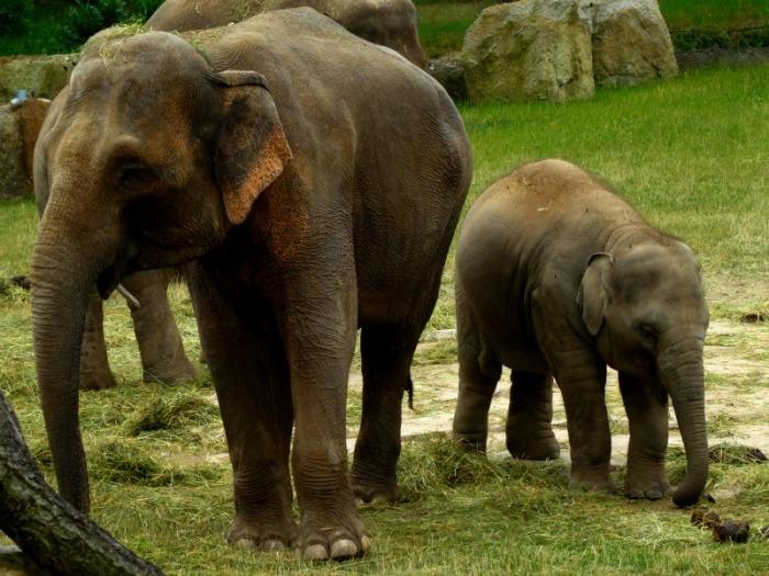 Asian elephpants