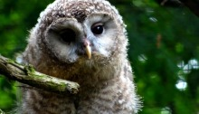 urul owlet