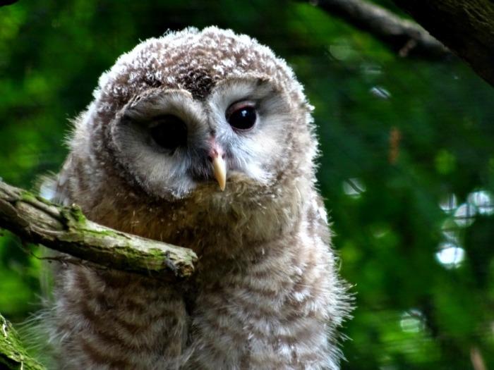 ural owlet