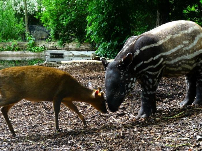 muntjak and tapir baby