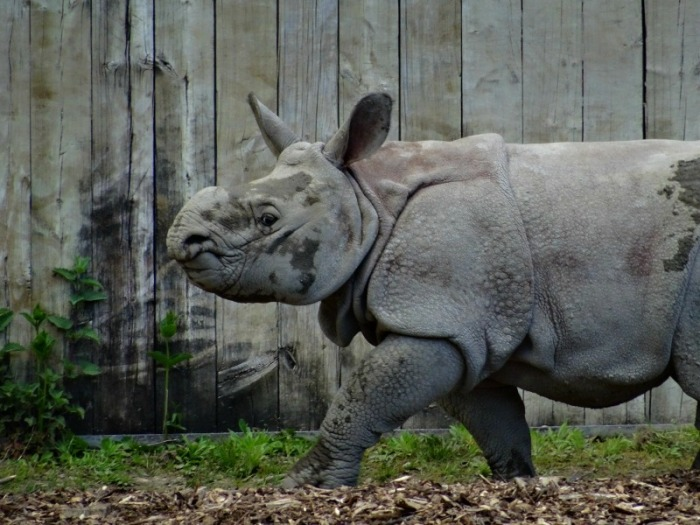 Indian rhino calf